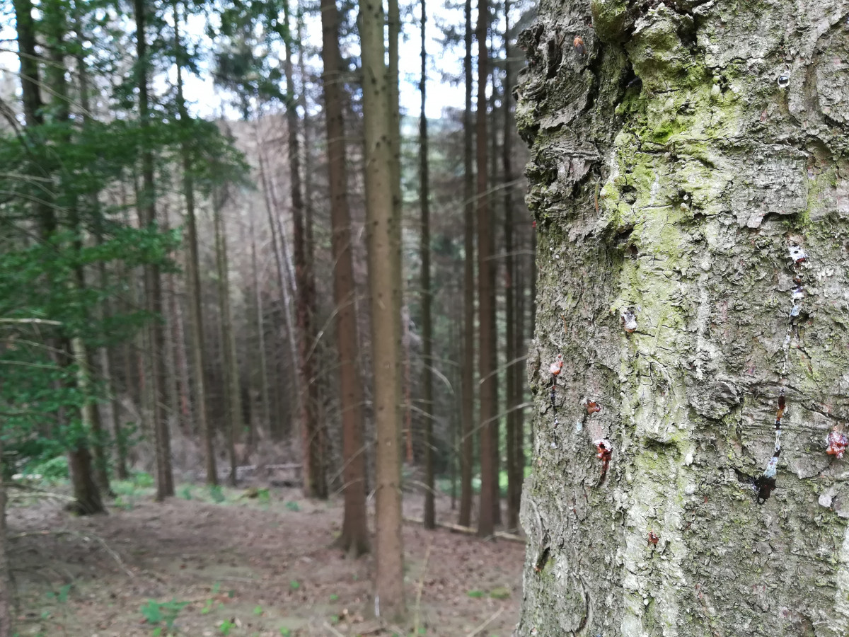 Photo shows tree in North Rhine Westphalia invested with bark beetle. Photo: CLEW/Wettengel.